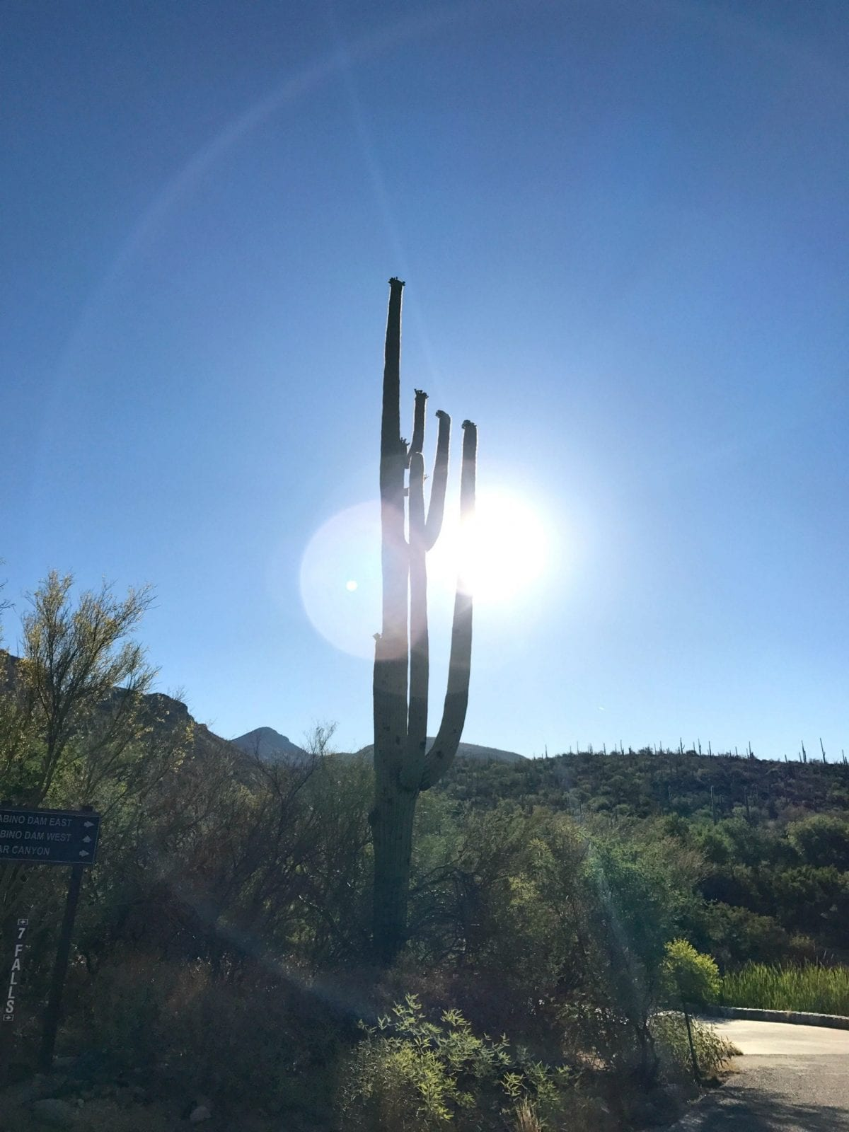 This is a close up shot of the saguaros in Sabino Canyon.